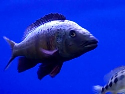 cyrtocara moori common name blue dolphin hap available yes